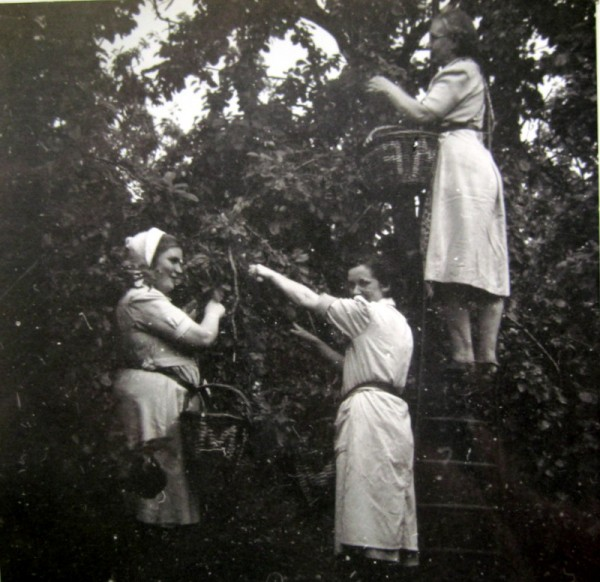Picking the plums - Emma Martin, up the ladder, her daughter, Joan, in the bonnet and a cousin.