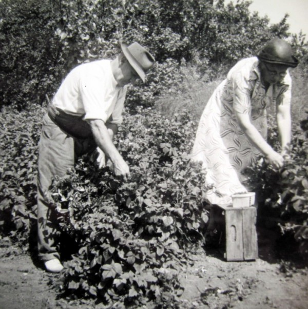 Fred and Emma Martin picking raspberries – apparently grown as individual bushes rather than trained on a wire.  Emma always wore a hat when working out in the open.
