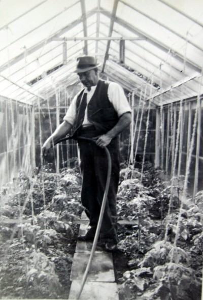 Watering the young tomato plants in a small glasshouse – before the days of growbags !